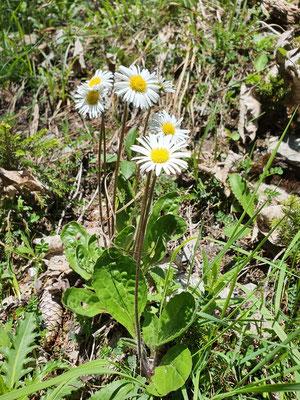 Aster bellidiastrum (Alpenmasslieb)