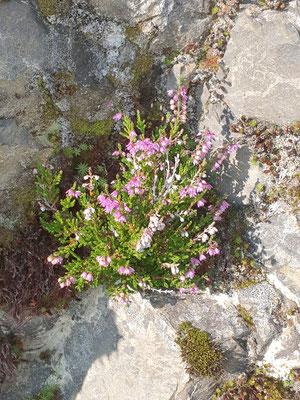 Calluna vulgaris (Besenheide)