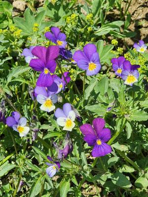 Viola tricolor (Feld-Stiefmütterchen)
