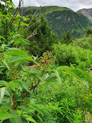 Sambucus racemosa (Roter Holunder)