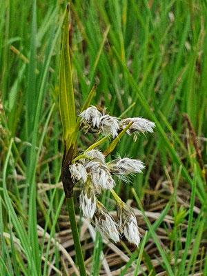 Eriophorum latifolium (Breitblättriges Wollgras)