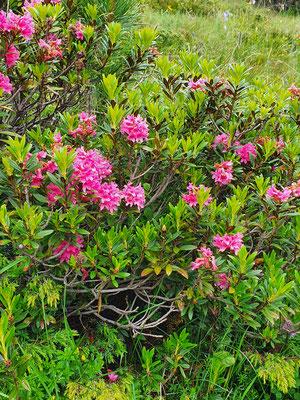 Rhododendron ferrugineum (Rostblättrige Alpenrose)