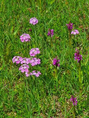 Primula farinosa (Mehlprimel)