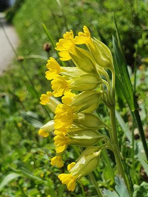 Primula veris (Frühlings-Schlüsselblume)