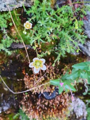 Saxifraga aspera (Rauer Steinbrech)