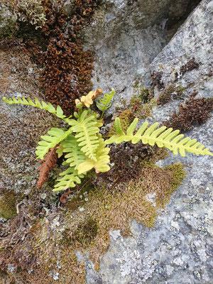 Polypodium vulgare (Tüpfelfarn)