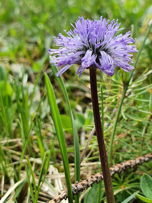 Globularia nudicaulis (Schaft-Kugelblume)