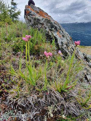 Allium lusitanicum (Berg-Lauch)