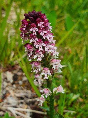 Orchis ustulata (Schwärzliches Knabenkraut)
