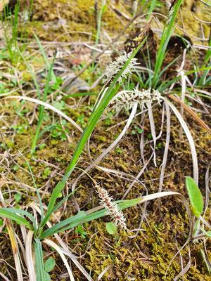 Carex flacca (Schlaffe Seggen)