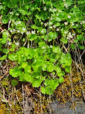 Saxifraga rotundifolia (Rundblättriger Steinbrech)