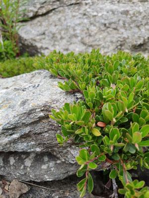 Arctostaphylos uva-ursi (Immergrüne Bärentraube)