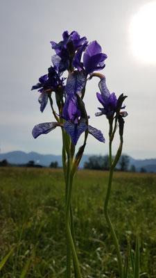 Iris sibirica (Sibirische Schwertlilie)
