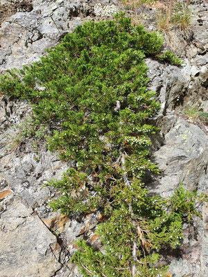 Juniperus sabina (Sefistrauch)