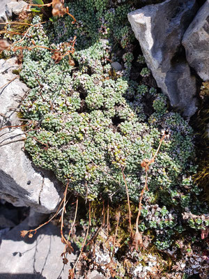 Saxifraga caesia (Blaugrüner Steinbrech)