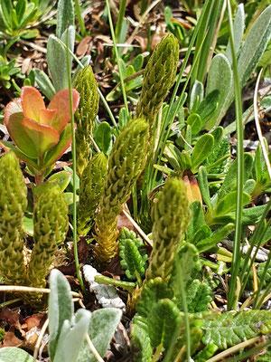 Selaginella selaginoides (Dorniger Moosfarn)