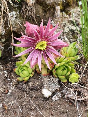Sempervivum montanum (Berg-Hauswurz)