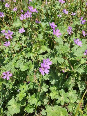 Geranium pyrenaicum (Pyrenäen-Storchschnabel)
