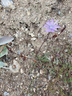 Lactuca perennis (Blauer Lattich)