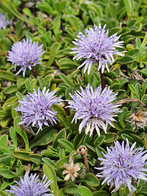 Globularia cordifolia (Herzblättrige Kugelblume)