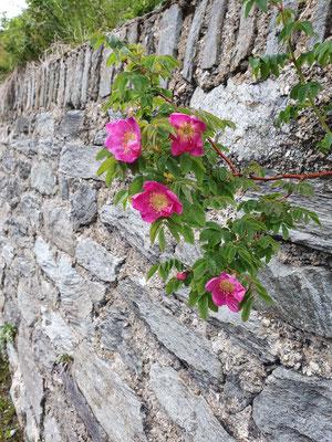 rosa pendulina (Alpen-Hagrose)