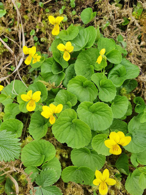 Viola biflora (Zweiblütiges Veilchen oder Gelbes Berg-Veilchen)
