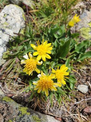 Solidago virgaurea subsp. minuta (Alpen-Goldrute) sehr kleines Exemplar
