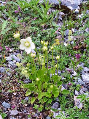 Parnassia palustris (Sumpf-Herzblatt)