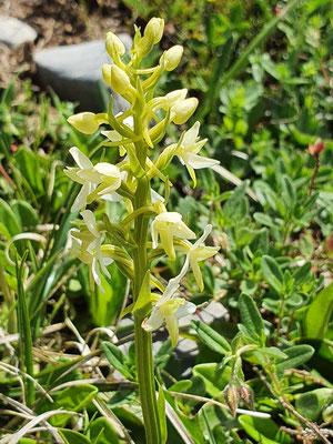 Platanthera bifolia (Weisses Breitkölbchen)