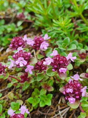 Thymus serphyllum (Thymian)