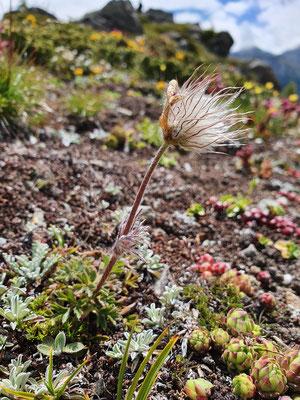 Pulsatilla verna (Frühlings-Anemone)