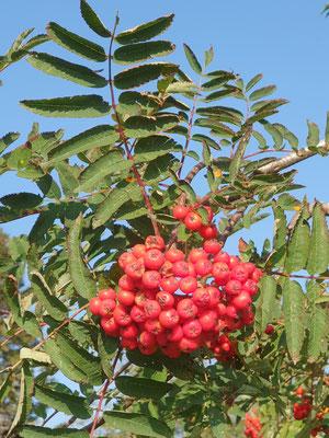 Sorbus aucuparia (Vogelbeere)