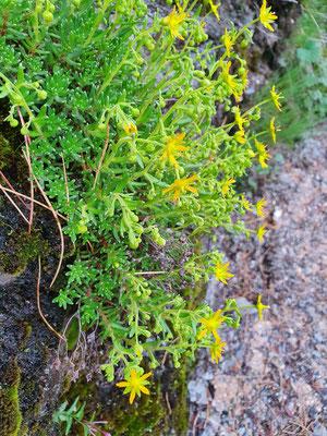 Saxifraga aizoides (Bach-Steinbrech)