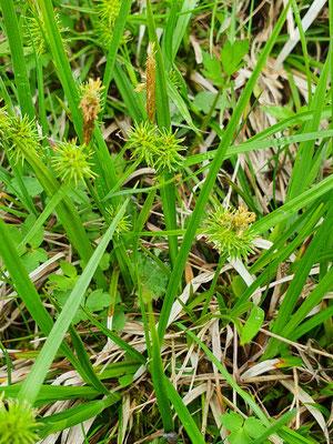 Carex flava (Gelbe Segge)