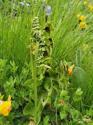Botrychium lunaria (Mondraute)
