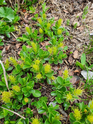 Salix retusa (Stumpfblättrige Weide)