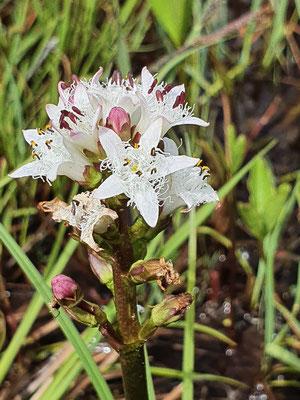 Menyanthes trifoliata (Fieberklee)