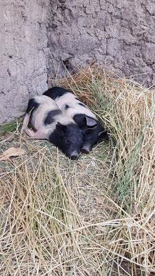... unsere zwei Schweine Schnitzel und Kotelett.