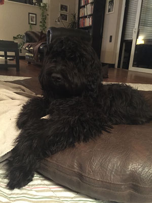 Jimmy - Portugisischer Wasserhund