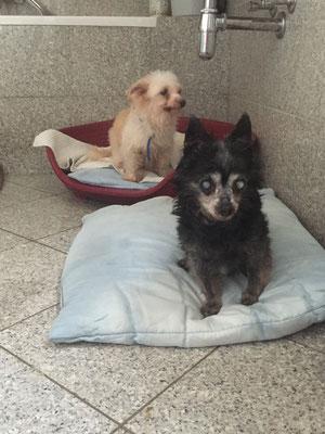 Chihuahua Zuchthunde in Rente - Heusweiler