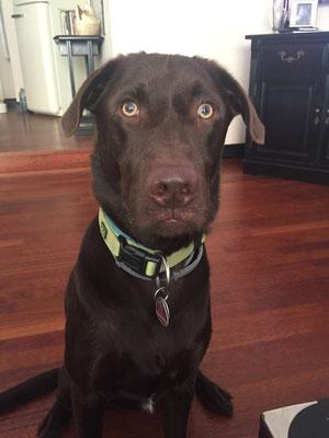 Buddy - Labrador Schoko
