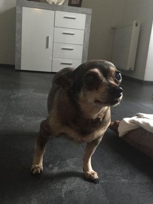 1 Chihuahua - Hülzweiler
