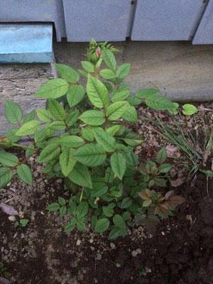 5月25日には葉っぱが殆ど虫に食べられていたバラ。よく育ってつぼみがいくつも付いていた