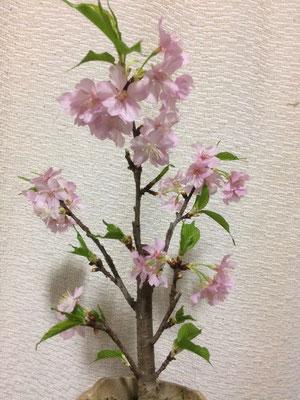 48輪開花(満開) 花びらが3枚位散った