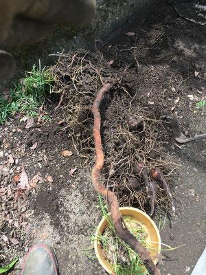 木の根を引っ張り、密集した球根を浮き出させる。無暗にスコップで掘ると球根にキズが付く。