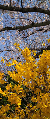 ~  Pink & Yellow  ~  心躍る  Springカラー♪  (2021.4.1) (c) Yukie Arai