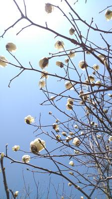 ~  春空を仰ぐ  ~  白木蓮と ともに♪  (2021.3.15) (c) Yukie Arai