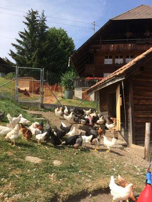 Hühner zu verkaufen-Bern-kanton-bern