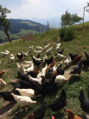Hühner kaufen Schweiz-brutapparat