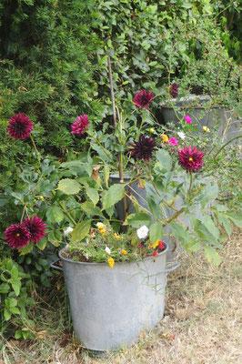 Dalhias cactus en fleurs